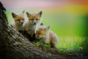 Fox Framed Prints - Trio of fox kits Framed Print by Everet Regal