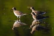Larry Bird Prints - Trio of Lesser Yellowlegs Print by Larry Ricker