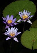 Trio Photos - Trio of Purple Water Lilies by Sabrina L Ryan