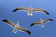 Robert Jensen Art - Trio of seagulls in flight  by Robert Jensen