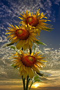 Spring Scenes Posters - Trio of Sunflowers Poster by Debra and Dave Vanderlaan