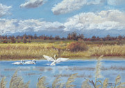 Clouds Pastels Posters - Trio of Trumpeter Swans  Poster by Jymme Golden
