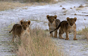 Trio Photo Originals - Trio of Young Lion Cubs by James Hammick