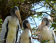 Triplet Wood Stork Nestlings Print by Richard Bryce and Family