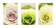 Pale Pink Posters - Triptych of Ornamental Cabbages Poster by Anne Gilbert