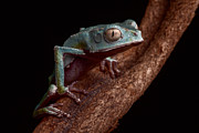 Nocturnal Animal Prints - Tropical Amazon rain forest tree frog Print by Dirk Ercken