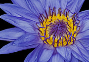 Water Plants Photos - Tropical Day Flowering Waterlily by Susan Candelario