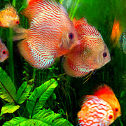Colorful Tropical Fish Posters - Tropical Discus Fish Group Poster by Amy Vangsgard