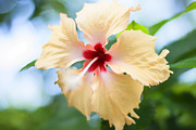 Georgia Fowler - Tropical Hibiscus