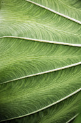 Joseph Duba Metal Prints - Tropical Leaf No.1 2009 v.1 Metal Print by Joseph Duba