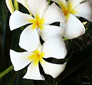 Plumeria Posters - Tropical Life - Flower Painting Poster by Sharon Cummings