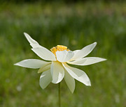 White Lotus Posters - Tropical Lotus Flower Poster by Kim Hojnacki