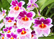 Cattleya Posters - Tropical Miltoniopsis Purple Orchids Poster by Daphne Sampson
