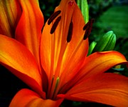 Tiger Lilies Framed Prints - Tropical Passion Framed Print by Karen Wiles