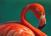 Greater Flamingo Framed Prints - Tropical Rose Framed Print by Tony Beck