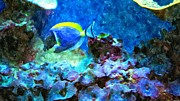 Filter Paintings - Tropical Seas Powder Blue Tang  by Rosemarie E Seppala