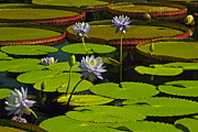 Tropical Water Lily Flowers And Pads Print by Byron Varvarigos
