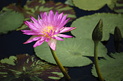 Penny Lisowski - Tropical Water Lily II