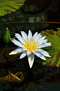 Byron Varvarigos - Tropical Waterlilies and...