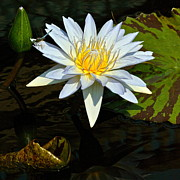 Byron Varvarigos - Tropical Waterlily and...
