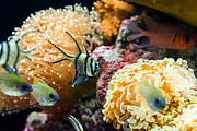 Jamie Pham Metal Prints - Tropical Wonderland - Banggai cardinalfish Metal Print by Jamie Pham