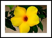 Florida Florals Photos - Tropical Yellow Blossom by Dora Sofia Caputo