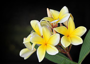 Amazing Posters - Tropical Yellow Frangipani Poster by Sabrina L Ryan