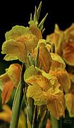 Tropicanna Gold Canna Lily Print by Julie Palencia