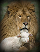 Lion And Lamb Framed Prints - True Companions Framed Print by Robert Weiman