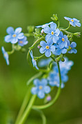 Angiosperms Art - True Forget-Me-Not by Rich Leighton