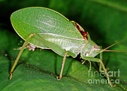 Fauna Metal Prints - True Katydid Pterophylla Camellifolia Metal Print by Millard H. Sharp
