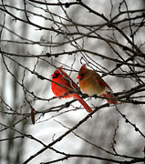 Male Cardinal Framed Prints - TRUE LOVE CARDINAL BIRDS Northern Cardinal Birds Male and Female Roosting Framed Print by Peggy  Franz