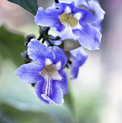 Blue Trumpet Flower Prints - Trumpet-Creeper Fan Print by Terri Winkler
