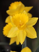 Jem Fine Arts Photos - Trumpet Daffodil named Exception by J McCombie