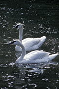 Gordon Wood - Trumpeter Swan Couple