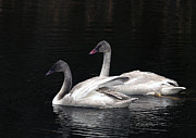 Trumpeter Photos - Trumpeter Swan Cygnets by Sharon  Talson