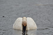 Swans Photos - Trumpeter Swan Drinking by Robert Smice