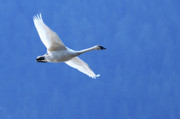 Swan In Flight Prints - Trumpeter Swan Fly-by Print by Sharon  Talson