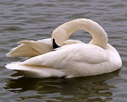 Heber Springs Photos - Trumpeter Swan by Kevin Pugh