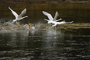 Swan In Flight Posters - Trumpeter Swan Takeoff Poster by J L Woody Wooden