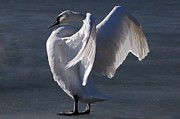 Joy Dinardo Bradley Dinardo Designs Framed Prints - Trumpeter Swan - Zeus Framed Print by Joy Bradley                   DiNardo Designs