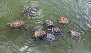 Linda Phelps - Trutles in Green River