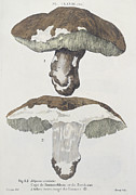 Mushrooms Drawings Posters - Tubiporus Esculentus Poster by De Lussigny