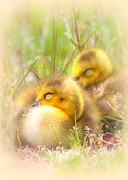 Travis Truelove Photography Prints - Tuckered Out - Goose - Bird - Babies Print by Travis Truelove