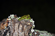 Chordata Posters - Tuckered Tree Frog Poster by Al Powell Photography USA