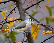 North Thompson Photos - Tuffy The Titmouse by Nava Jo Thompson