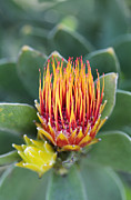Pincushion Prints - Tufted Pincushion Protea Print by Neil Overy