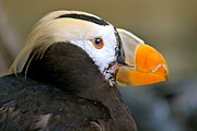 Rare Bird Of Canada Art - Tufted Puffin by Amalia Fernand