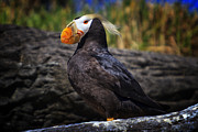 Mark Kiver Prints - Tufted Puffin Print by Mark Kiver