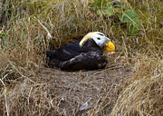 Puffin Photo Posters - Tufted Puffin Poster by Mike  Dawson